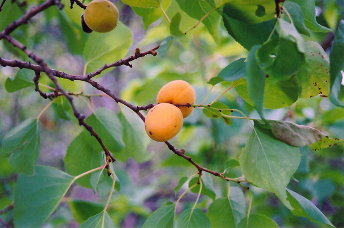 Scout Apricot Prunus Mandshurica At Tree Top Nursery Landscaping Fruit
