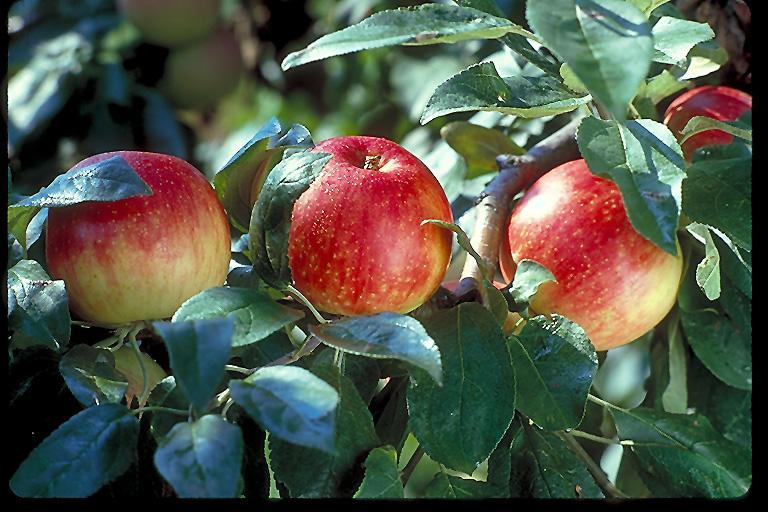 of Zestar Apple  Malus  Zestar   at Tree Top Nursery  amp  LandscapingZestar Apple Tree