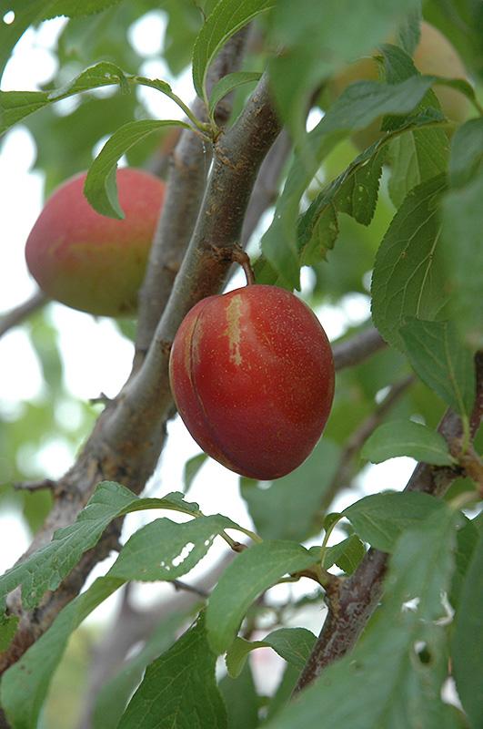 Alderman Plum Prunus At Tree Top Nursery Landscaping Fruit