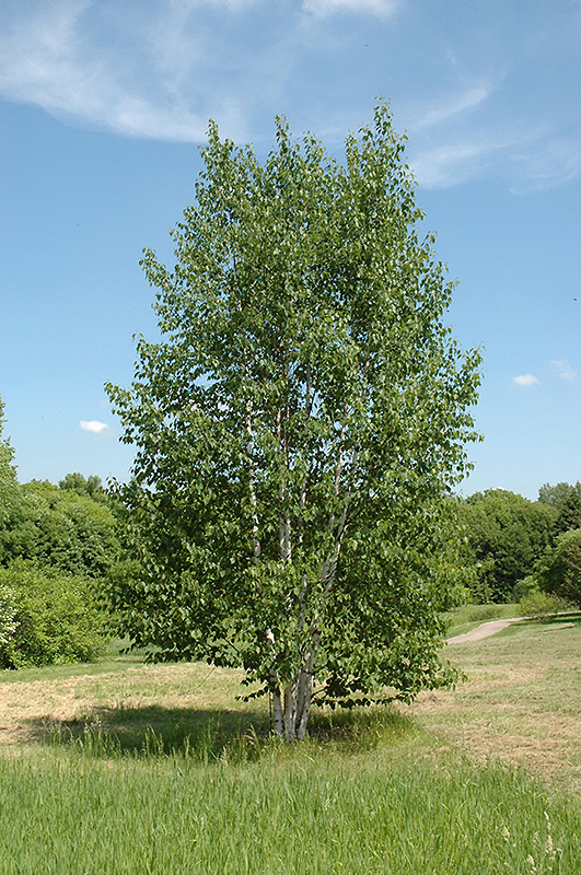Landscaping With Paper Birch Trees : Renaissance reflection paper birch betula papyrifera