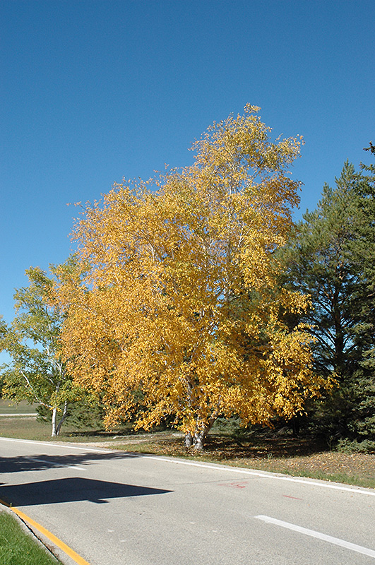 Landscaping With Paper Birch Trees : Clump paper birch betula papyrifera in sauk