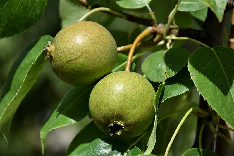 Golden E Pear Pyrus Ussuriensis At Tree Top Nursery Fruit