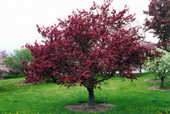 Profusion Flowering Crab (Malus 'Profusion') at Tree Top Nursery & Landscaping