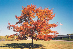 Red Oak (Quercus rubra) at Tree Top Nursery & Landscaping
