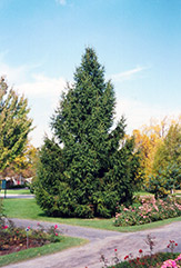 Norway Spruce (Picea abies) at Tree Top Nursery & Landscaping