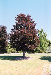 Royal Red Norway Maple (Acer platanoides 'Royal Red') at Tree Top Nursery & Landscaping