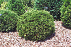 Hetz Midget Arborvitae (Thuja occidentalis 'Hetz Midget') at Tree Top Nursery & Landscaping