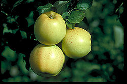 Honeygold Apple (Malus 'Honeygold') at Tree Top Nursery & Landscaping