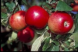 State Fair Apple (Malus 'State Fair') at Tree Top Nursery & Landscaping