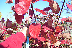 Cotton Candy American Smoketree (Cotinus obovatus 'Cotton Candy') at Tree Top Nursery & Landscaping