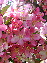 Camelot Flowering Crab (Malus 'Camelot') at Tree Top Nursery & Landscaping