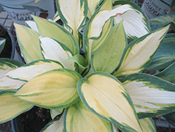 Happy Dayz Hosta (Hosta 'Happy Dayz') at Tree Top Nursery & Landscaping