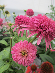 Cranberry Cupcake Coneflower (Echinacea 'Cranberry Cupcake') at Tree Top Nursery & Landscaping