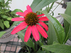 Glowing Dream™ Coneflower (Echinacea 'Glowing Dream') at Tree Top Nursery & Landscaping