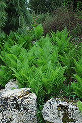 Ostrich Fern (Matteuccia struthiopteris) at Tree Top Nursery & Landscaping