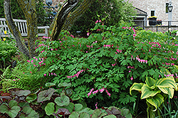 Common Bleeding Heart (Dicentra spectabilis) at Tree Top Nursery & Landscaping