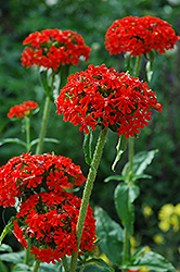 Maltese Cross (Lychnis chalcedonica) at Tree Top Nursery & Landscaping