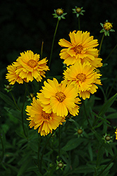 Early Sunrise Tickseed (Coreopsis 'Early Sunrise') at Tree Top Nursery & Landscaping