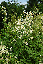 Goatsbeard (Aruncus dioicus) at Tree Top Nursery & Landscaping