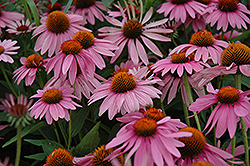 Magnus Coneflower (Echinacea purpurea 'Magnus') at Tree Top Nursery & Landscaping
