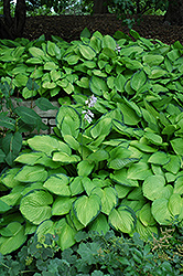 Gold Standard Hosta (Hosta 'Gold Standard') at Tree Top Nursery & Landscaping