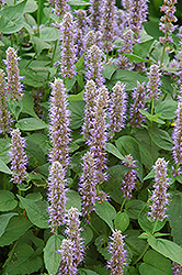 Blue Fortune Anise Hyssop (Agastache 'Blue Fortune') at Tree Top Nursery & Landscaping