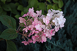 Pink Diamond Hydrangea (Hydrangea paniculata 'Pink Diamond') at Tree Top Nursery & Landscaping