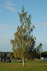 Cutleaf Weeping Birch (Betula pendula 'Dalecarlica') at Tree Top Nursery & Landscaping