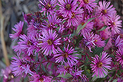 Woods Pink Aster (Aster 'Woods Pink') at Tree Top Nursery & Landscaping