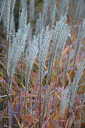 Flame Grass (Miscanthus sinensis 'Purpurascens') at Tree Top Nursery & Landscaping