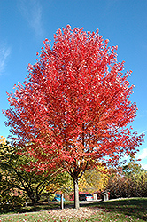Autumn Blaze Maple (Acer x freemanii 'Jeffersred') at Tree Top Nursery & Landscaping