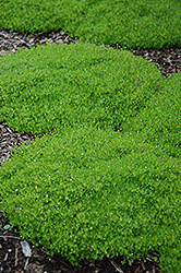 Irish Moss (Sagina subulata) at Tree Top Nursery & Landscaping