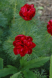 Double Fernleaf Peony (Paeonia tenuifolia 'Rubra Plena') at Tree Top Nursery & Landscaping
