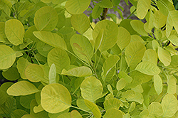 Golden Spirit Smokebush (Cotinus coggygria 'Golden Spirit') at Tree Top Nursery & Landscaping