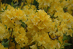 Lemon Lights Azalea (Rhododendron 'Lemon Lights') at Tree Top Nursery & Landscaping