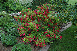 Red Prince Weigela (Weigela florida 'Red Prince') at Tree Top Nursery & Landscaping