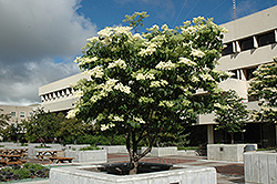 Ivory Silk Japanese Tree Lilac (Syringa reticulata 'Ivory Silk') at Tree Top Nursery & Landscaping