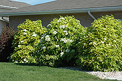 Golden American Elder (Sambucus canadensis 'Aurea') at Tree Top Nursery & Landscaping