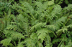 Christmas Fern (Polystichum acrostichoides) at Tree Top Nursery & Landscaping