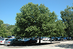 Chicagoland Hackberry (Celtis occidentalis 'Chicagoland') at Tree Top Nursery & Landscaping