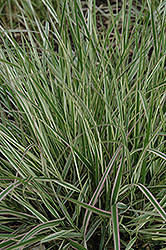 Variegated Reed Grass (Calamagrostis x acutiflora 'Overdam') at Tree Top Nursery & Landscaping