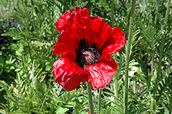 Beauty of Livermere Poppy (Papaver orientale 'Beauty of Livermere') at Tree Top Nursery & Landscaping