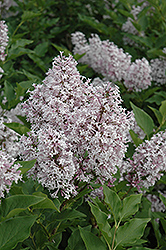 Miss Kim Lilac (Syringa patula 'Miss Kim') at Tree Top Nursery & Landscaping
