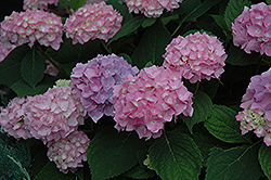 Endless Summer® Hydrangea (Hydrangea macrophylla 'Endless Summer') at Tree Top Nursery & Landscaping