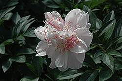 Do Tell Peony (Paeonia 'Do Tell') at Tree Top Nursery & Landscaping