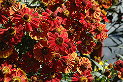 Helena Mix Sneezeweed (Helenium 'Helena Mix') at Tree Top Nursery & Landscaping