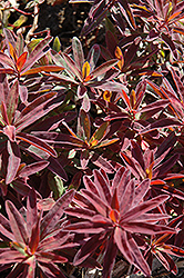 Bonfire Cushion Spurge (Euphorbia polychroma 'Bonfire') at Tree Top Nursery & Landscaping