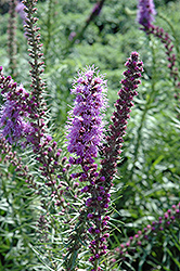 Prairie Blazing Star (Liatris pychnostachya) at Tree Top Nursery & Landscaping