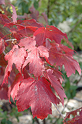 Scarlet Jewel™ Red Maple (Acer rubrum 'Bailcraig') at Tree Top Nursery & Landscaping