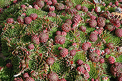 Red Beauty Hens And Chicks (Sempervivum 'Red Beauty') at Tree Top Nursery & Landscaping
